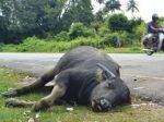Bagaimana seekor kerbau bisa mati cuma gara2 GOSSIP ?